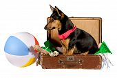 Jack Russel Terrier dog sitting in a suitcase, going on vacation poster