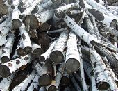 an image of a pile of birch logs poster