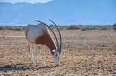 Antelope scimitar horn Oryx (Oryx leucoryx).Due to danger of extinction, the species was introduced from Sahara and adopted in nature reserve near Eilat, Israel poster