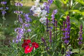 Background or Texture of Salvia nemorosa 'Caradonna' Balkan Clary , Nepeta fassenii 'Six Hills Giant', snapdragon, carnation in a Country Cottage Garden in a romantic rustic style. Latvia poster