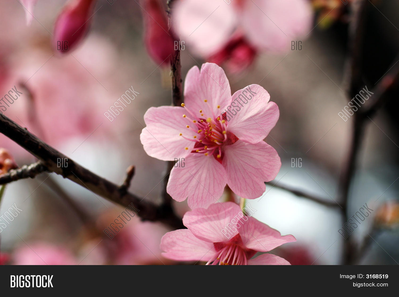 Close shot pink cherry image photo free trial bigstock close up shot of pink cherry blossom flower mightylinksfo