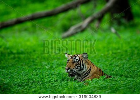 In An Evening Safari To Buffer Zone During Monsoon Season A Handsome And Wild Male Tiger (panthera T