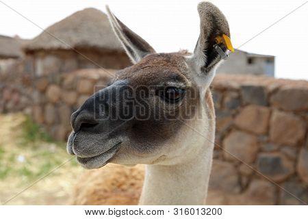 Guanaco (lama Guanicoe) In Peru. South America