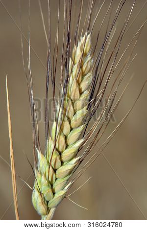 Ear Of Wheat, Cereal, Bread, Cakes, Cookies, Gluten