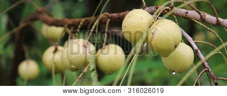 Amla Growing On A Tree. Amla, Emblica Officinalis, Indian Gooseberries. Phyllanthus Emblica, Emblic,