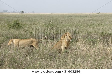 Two Lions In Wide Grassland