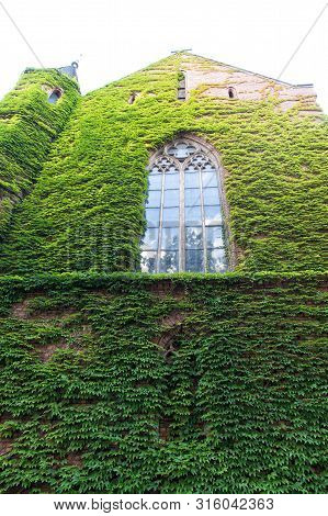 Growing Ivy Or Other Climbers Up Building Wall Can Have Many Benefits. Green Leaves Surface With Win