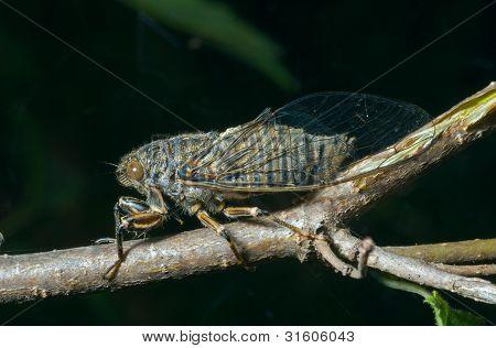 Cicada (tibicen Bihamatus)