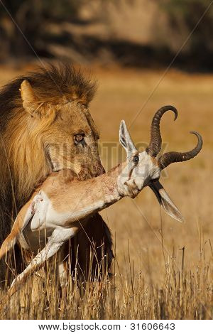 Old male lion with stolen carcass in mouth