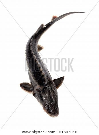 Sterlet Fish Isolated On White Background