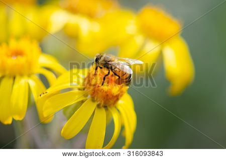 Close Up Of Honey Bee Feeding On Yellow Wildflowers.  Macro Shot Of Honey Bee With Pollen.  Southern