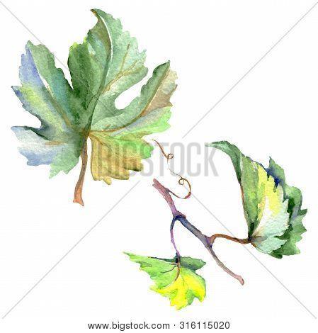 Branch Of Green Vine Leaves. Watercolor Background Illustration Set. Isolated Grape Illustration Ele