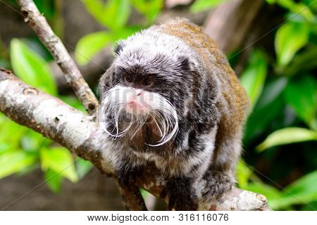 Portrait Of An Emperor Tamarin Monkey Sitting On A Branch