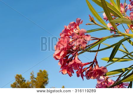 Close Up Pink Blossom Flower With Blue Sky Stock Photo