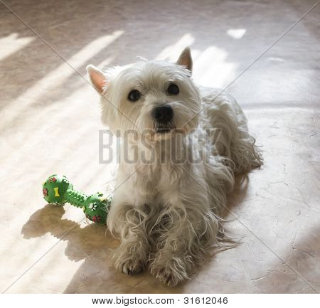 West higland white terrier is lying on a floor poster