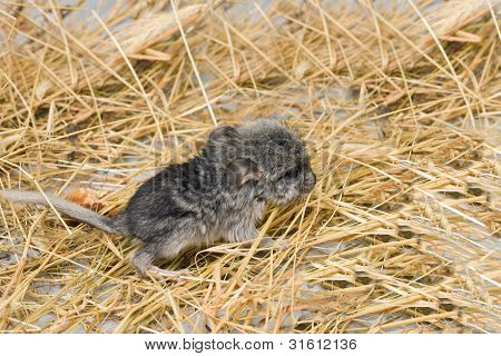 newborn puppy of a chinchilla