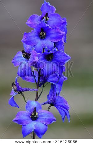Close Up Of A Delphinium Elatum Flower In Bloom