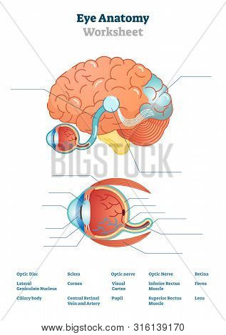 Eye Anatomy Blank Worksheet, Printable Test Illustrations. Brain And Eye Anatomical Cross Section Di