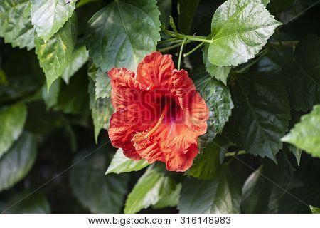 Hardy Hibiscus Luna Red Flower - Latin Name - Hibiscus Moscheutos Luna Red