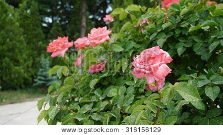 Red Big Roses In The Rose Garden, Pictures Of Natural Roses, Love And Red Rose, Rose Buds, Red Rose