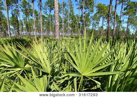 Saw Palmetto And Pine Flatwoods