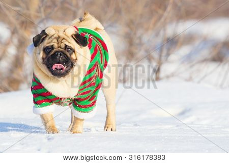 Cute Dog Pug Breed Have A Question And Making Funny Face Feeling So Happiness And Fun, Selective Foc