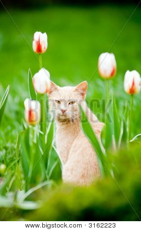 Funny cat outside in the tulips field poster
