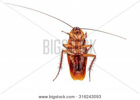 Cockroaches Isolated On White Background With Clipping Path