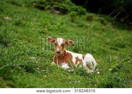 Young Calf Lies On The Green Grass And Looks At Camera. Copy Space