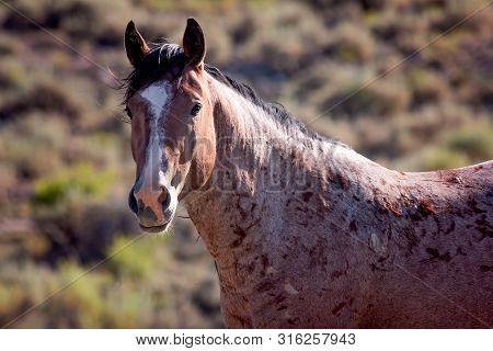 Roan Wild Stallion At Sand Wash Basin Colorado
