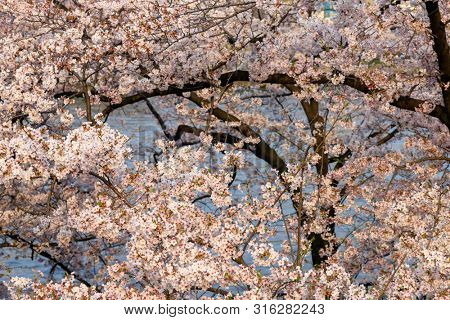Full pink cherry tree blossom along the river bank in Osaka, Japan