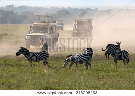 Tourists in trucks drive by zebras herd at the Maasai Mara National Park, Kenya