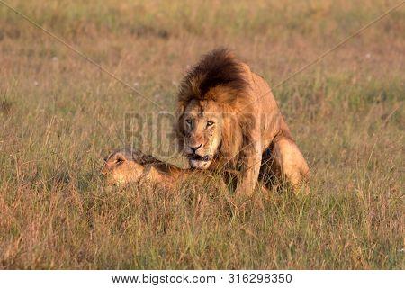 Lion pair copulating in the grasslands of the Maasai Mara National Park, Kenya