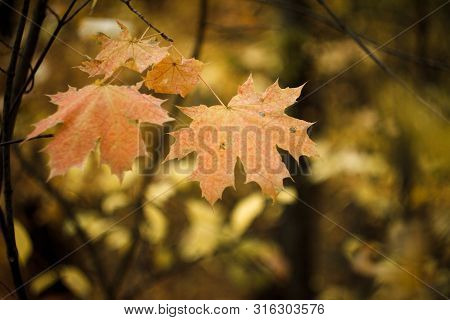 Close-up Of Red-orange Maple Leaves On Blurry Background Of Autumn Forest, Selective Focus