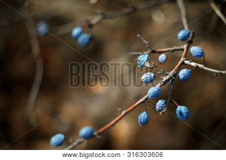 Close-up Of Blue Honeysuckle Berries On Bare Branches In Autumn On A Blurred Background Of An Autumn