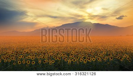 Sunflower Field At Sunset.landscape From A Sunflower Farm.agricultural Landscape.sunflowers Field La