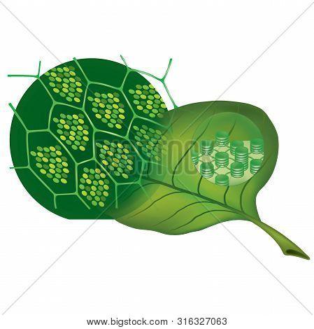 Chlorophyll And Green Leaf. 3d Illustration Transparent Png Images.