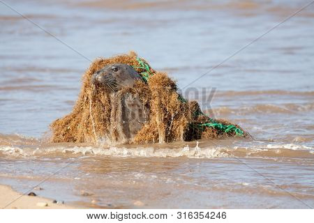 Animal Welfare. Marine Pollution. Seal Caught In Discarded Plastic Fishing Net. Dangerous Human Wast