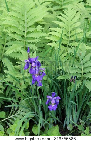 Woodsy Scene Of Bright Purple Iris Flowers And Deep Green Ferns Seen Out On A Hike Through The Dense