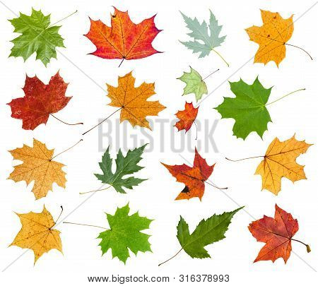 Set From Various Leaves Of Maple Trees Isolated On White Background