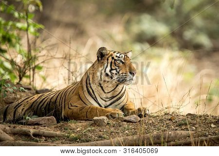 poster of Wild Bengal Tiger (Panthera Tigris Tigris) having rest during hot day in its natural habitat.Ranthambore National Park, Rajasthan, India, endangered species, big beautiful cat