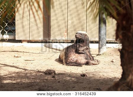 Funny Spread Legged Honey Badger Mellivora Capensis