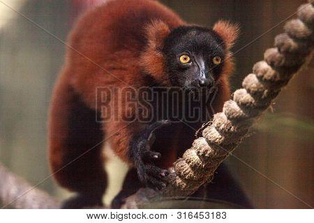 Baby Red Ruffed Lemur Pup Varecia Rubra Clings To Rope.