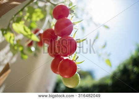 Ripe Red Orgranic Cherry Tomatoes Growing On Vine With Blue Sky On Background