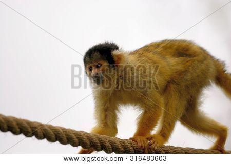 Portrait Of A Common Squirel Monkey (saimiri Sciureus) Climbing On A Rope In A Zoo