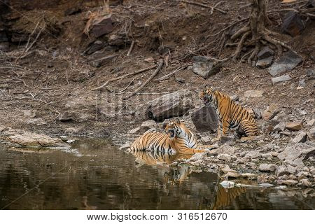 Wildlife Scene Of Tigress And Her Cub. Angry Looking Female Bengal Tiger And Her Cub With Face Expre