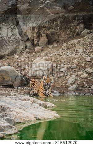 Wildlife scene of tigress and her cub. Angry looking female bengal tiger and her cub with face expressions near water body during summer safari in dry deciduous forest at ranthambore national park, rajasthan, india poster