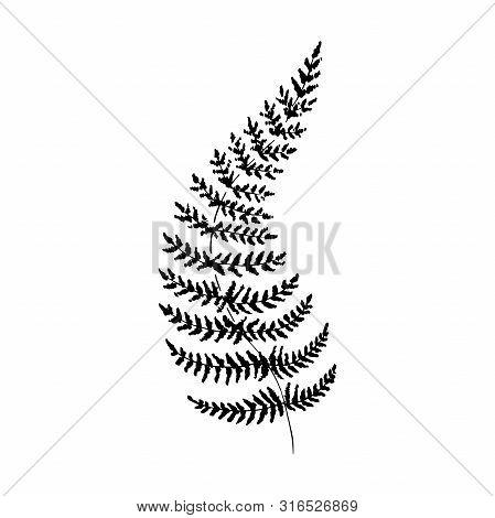 Sketch Fern.single Hand-drawn Black Fern Branch, Isolated On White Background.