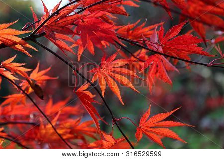 Close Up Of Bright Red Japanese Maple Or Acer Palmatum Leaves On The Autumn Garden