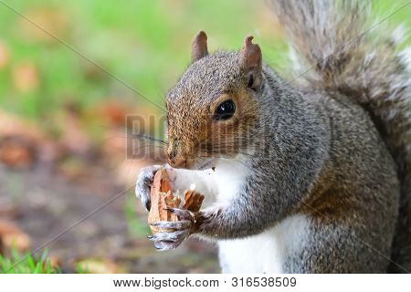 Portrait Of A Gray Squirrel Eating A Nut
